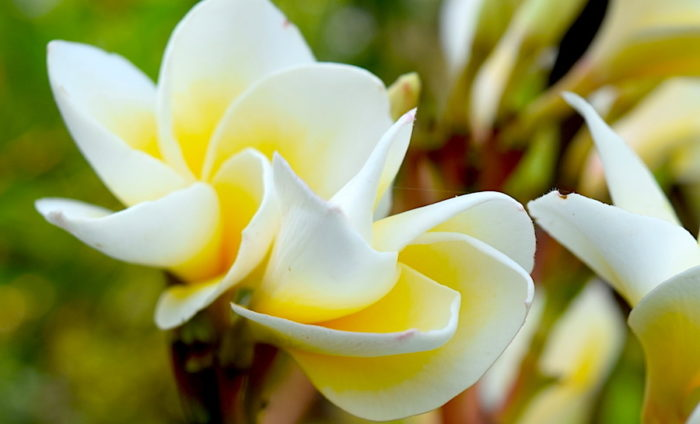 museflower-retreat-and-spa-frangipani-wh