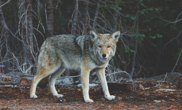 wolf-in-nature-small.jpeg#asset:1975:med