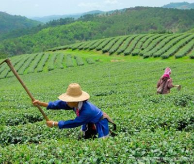 Chiang Rai Thailand Tour Tea Plantation Doi Mae Salng Museflower Retreat & Spa