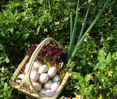 Fresh Duck Eggs for Breakfast Organic Local Museflower Retreat & Spa
